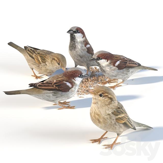House Sparrow / 1