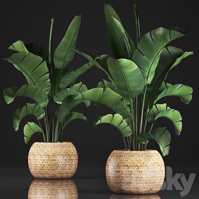 Plant collection 345. Banana palm