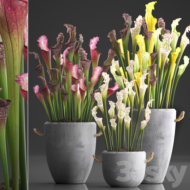 Plant Collection 377. Sarracenia