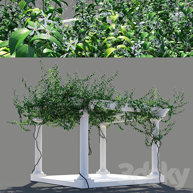 Pergola Trachelospermum jasminoides 2