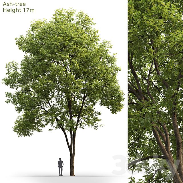 Ash | Ash-tree # 3 (17m)