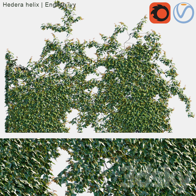 Hedera helix   English ivy on wall