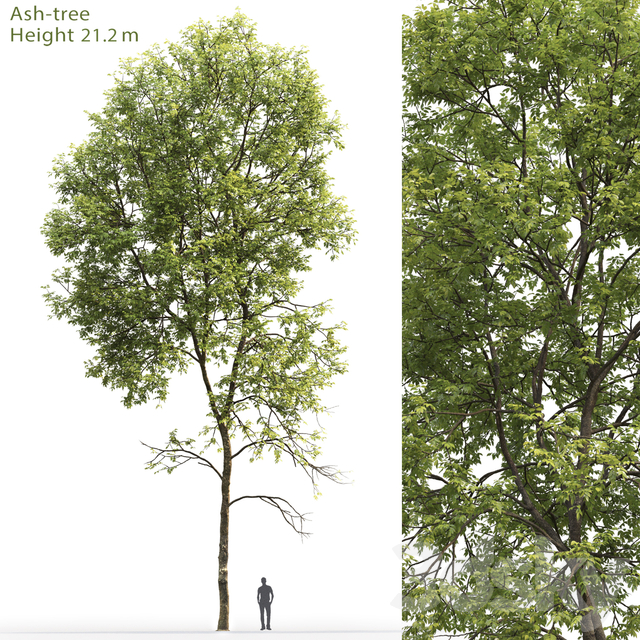 Ash | Ash-tree # 5 (21.2m)