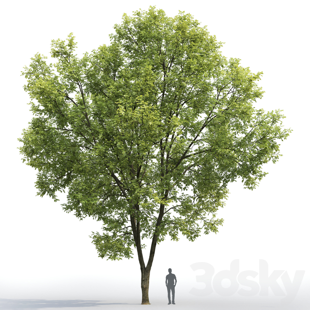Ash | Ash-tree # 7 (15.5m)