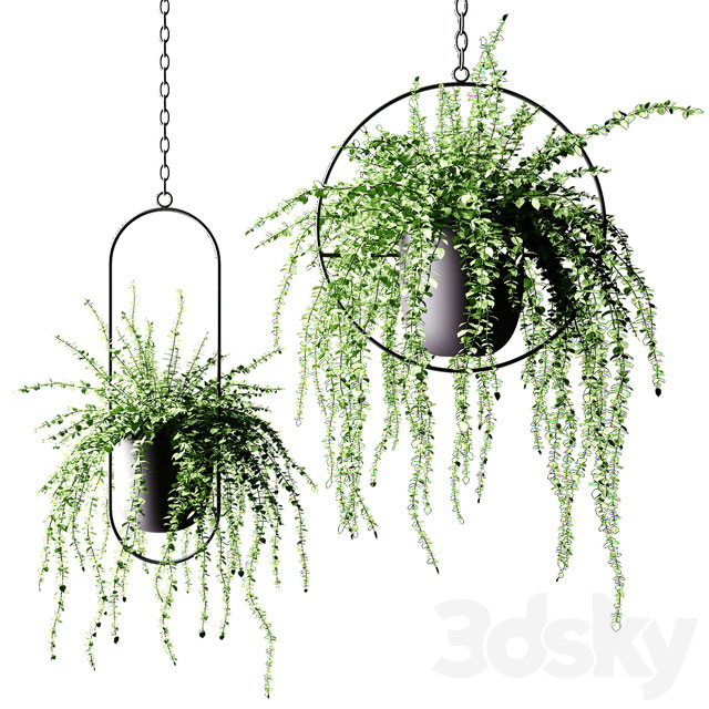 Ampel plants in black hanging flower pots