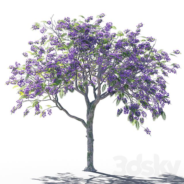 Jacaranda mimosifolia 5