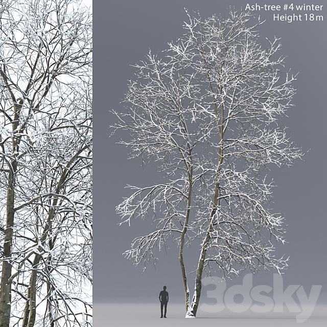 Winter Ash | Ash-tree winter # 4 (18m)