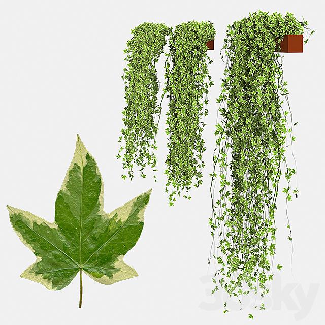 Set Hedera Helix Goldchild ivy in pot