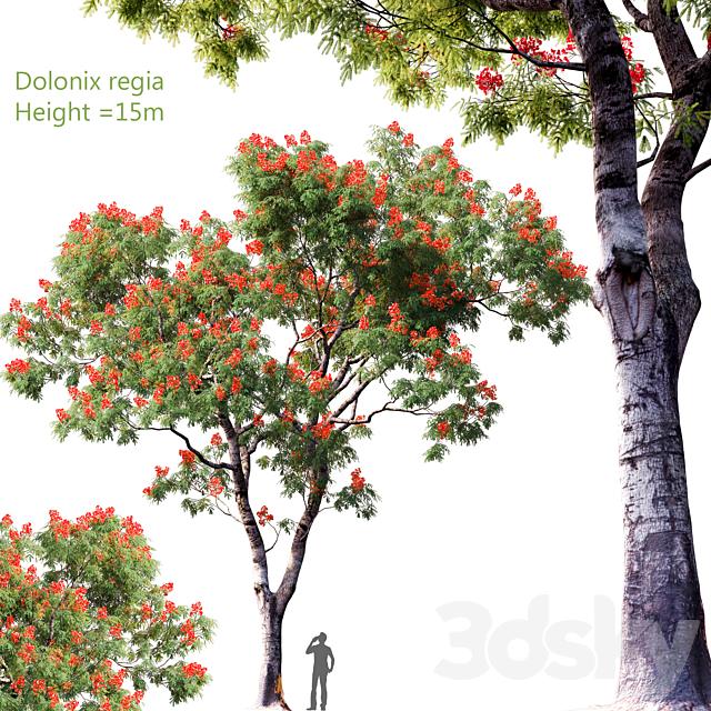 Dolonix regia | Height = 15m # 4