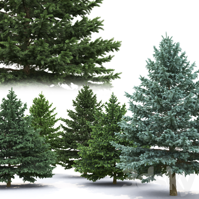 Spruce | Picea Pungens # 6 (5.2-3.8m)