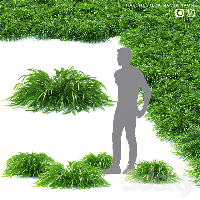 Honehloa Japanese grass | Hakonechloa macra naomi