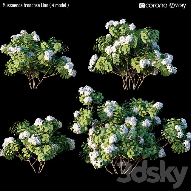 Mussaenda frondosa Linn - Mussaenda pubescens