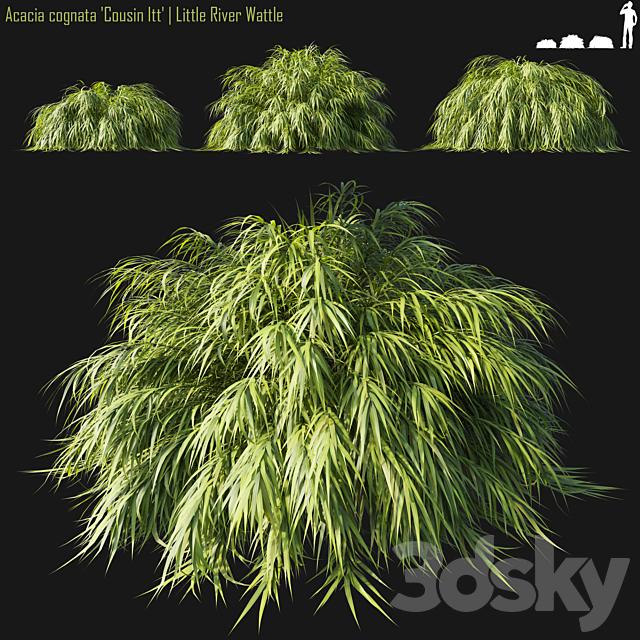 Acacia cognata Cousin Itt | Little River Wattle # 1