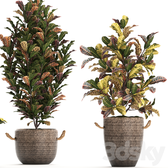 Collection of plants 432. Croton.
