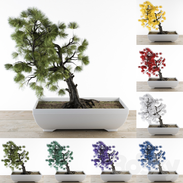 Bonsai Pine Colorful - Nature and Artificial Color