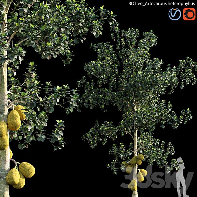 Artocarpus heterophyllus 01