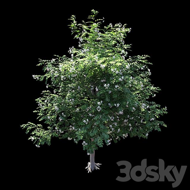 Murraya paniculata tree
