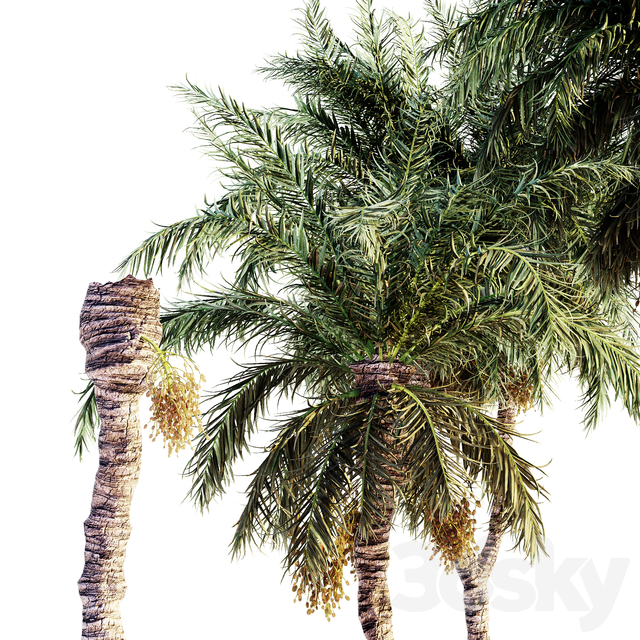 Date palm collection