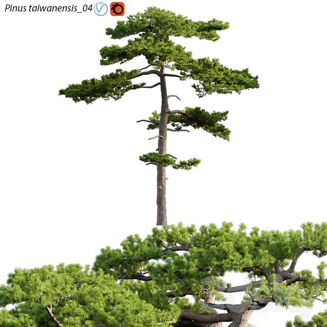 Pinus taiwanensis | Taiwan red pine | Pine | 04