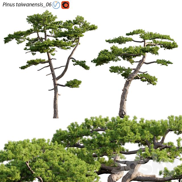 Pinus taiwanensis | Taiwan red pine | Pine | 06