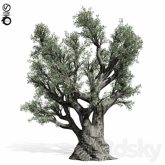 olive Tree 220