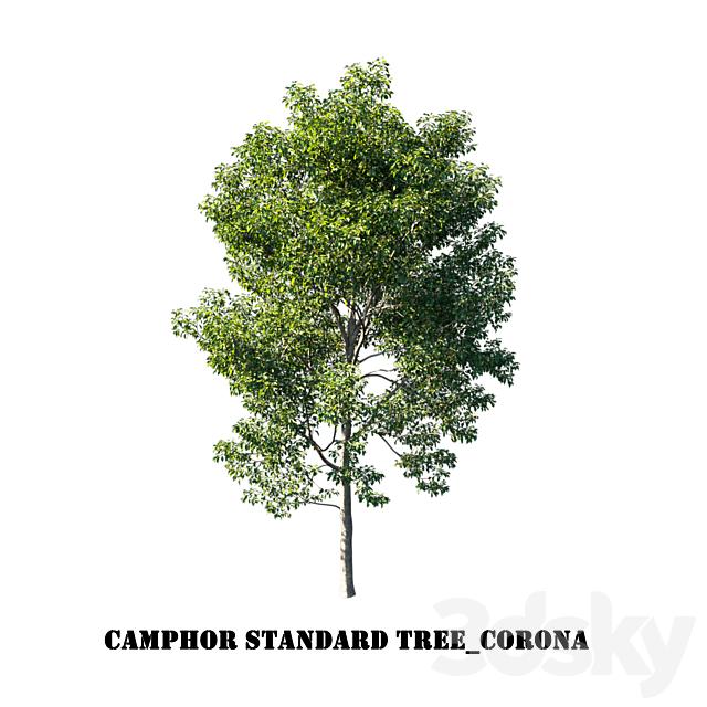 Camphor standard tree