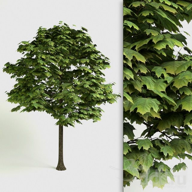 Acer Platanoides - detailed 3D Tree