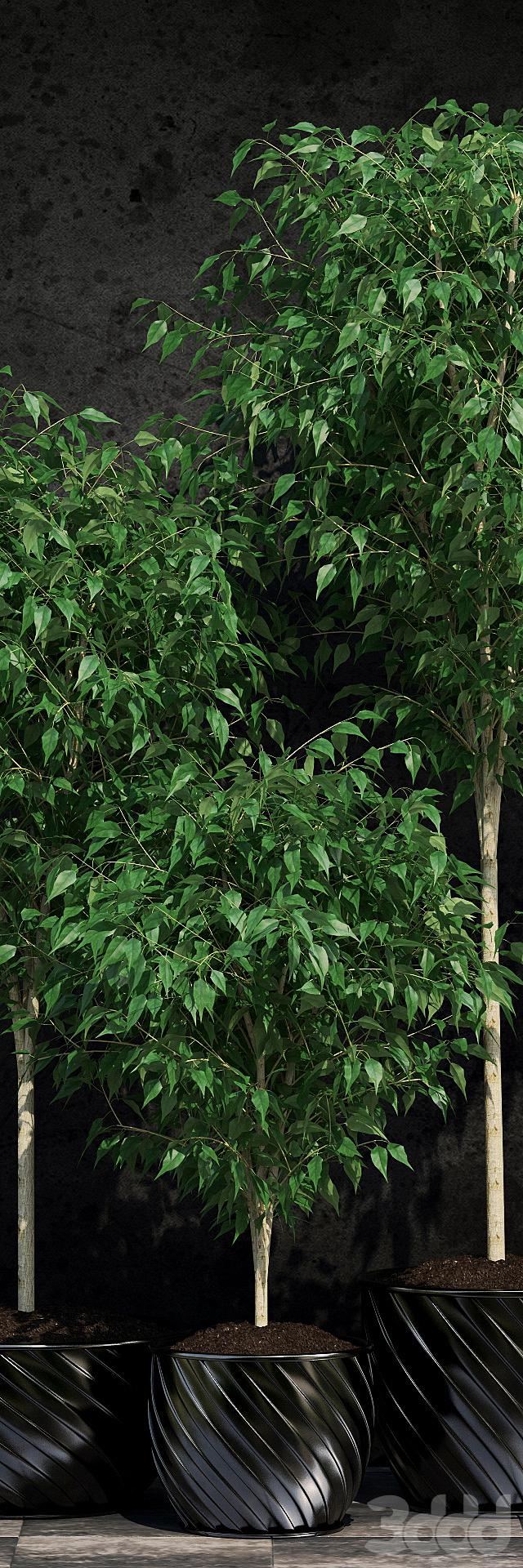 Растения Фикус Бенджамина 2