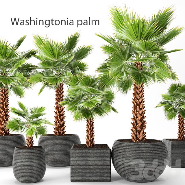 Набор пальм. Вашингтония. Brahea edulis. 3