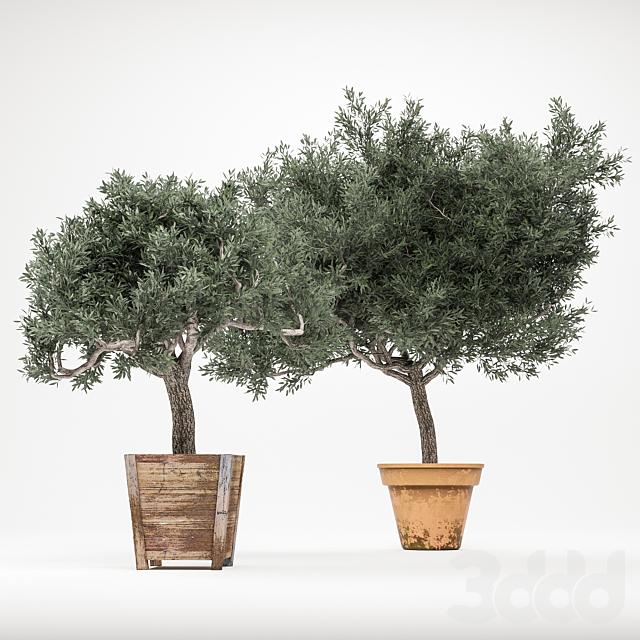 Plant 2 - OliveTree