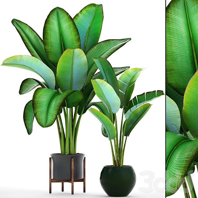 Коллекция растений 80. Ravenala