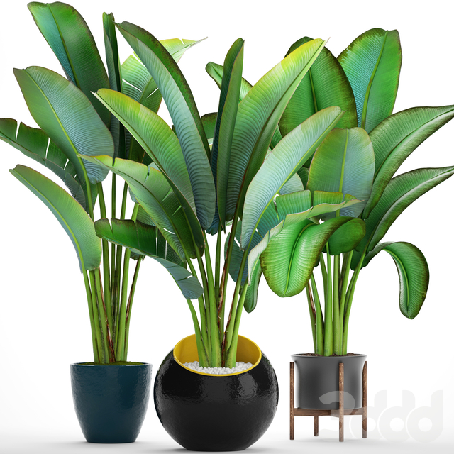 Коллекция растений 82. Ravenala