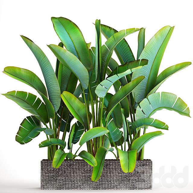 Коллекция растений 85. Ravenala