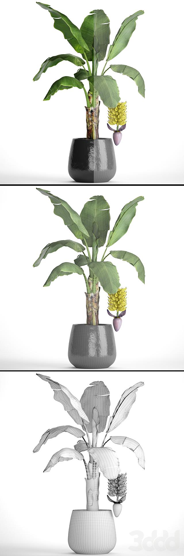 Банановая пальма с плодами.