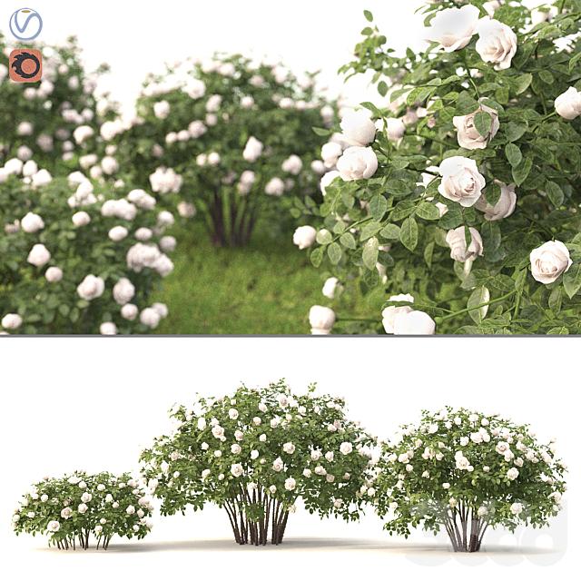 Роза белая кустарник
