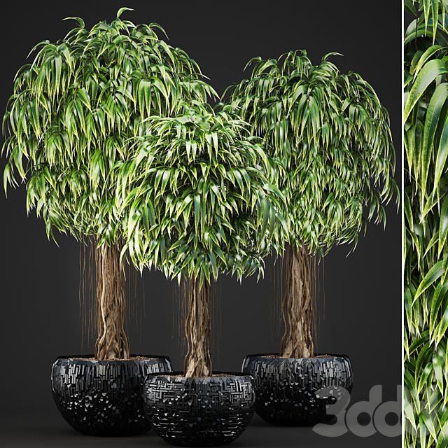 Коллекция растений 131. Ficus Alii