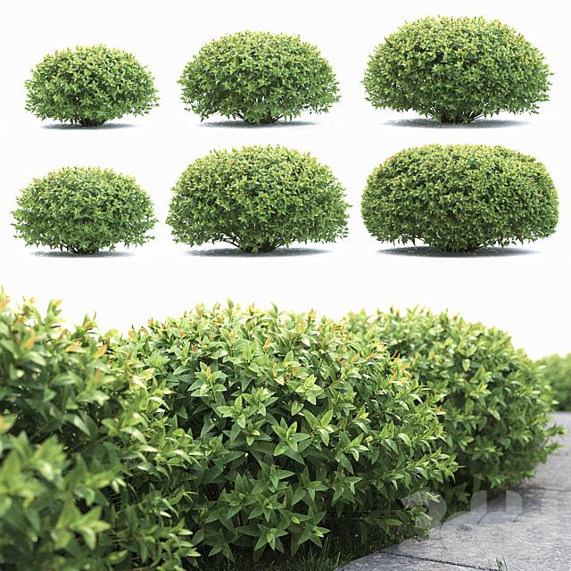 Спирея японская2 (spirea japonica)