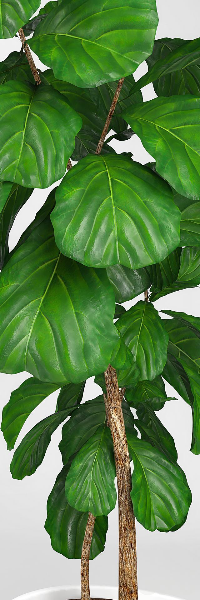 Fiddle leaf fig tree 3