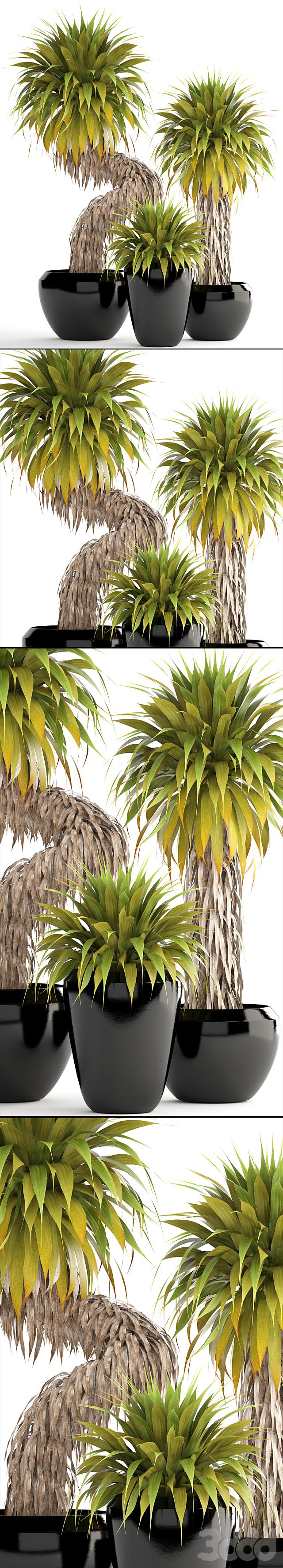 Коллекция растений 151. Yucca Elata