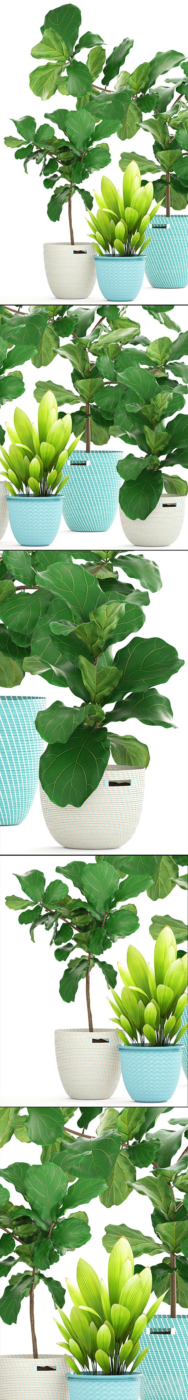 Коллекция растений 158. Ficus Lyrata