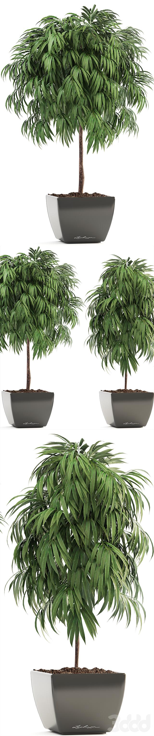 Коллекция растений 199.  Ficus Alii 4