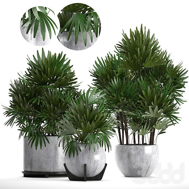 Коллекция растений 230. Rhapis excelsa