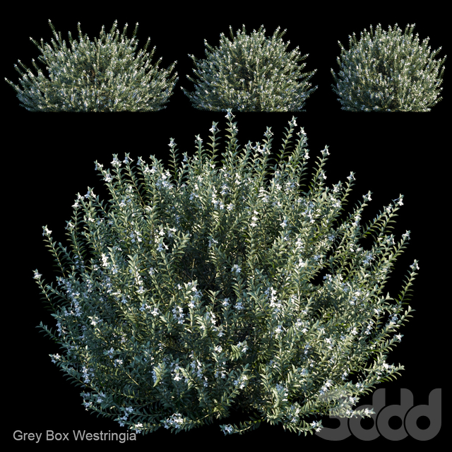 Grey Box Westringia