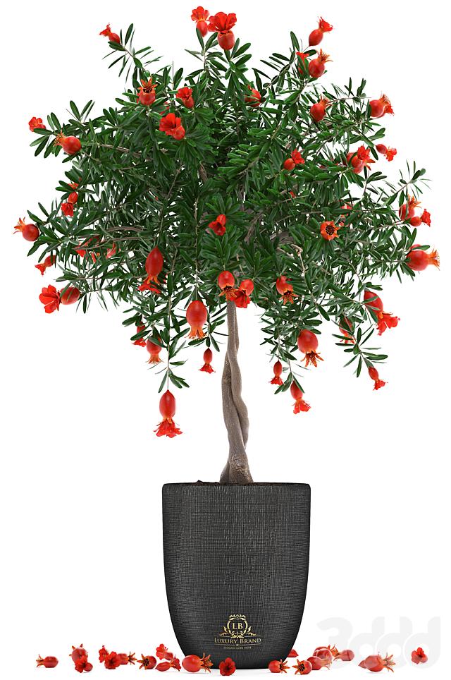 Коллекция растений 274. Pomegranate