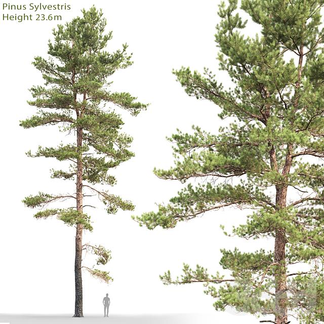 Сосна обыкновенная #18 (23.6м)