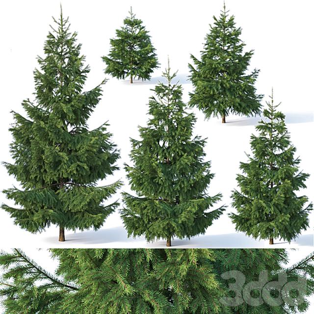 Spruce # 1. Six sizes H1-3m