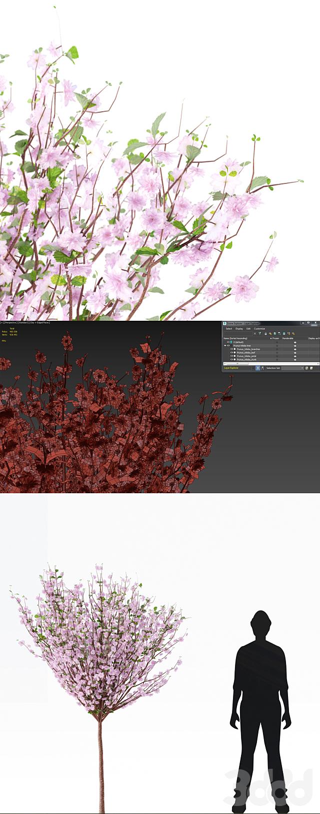 Миндаль трёхлопастный дерево   Prunus triloba tree
