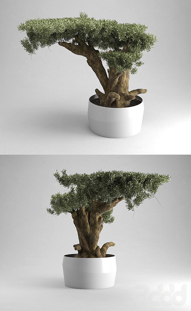 Olive Tree Plates Olea Europaea