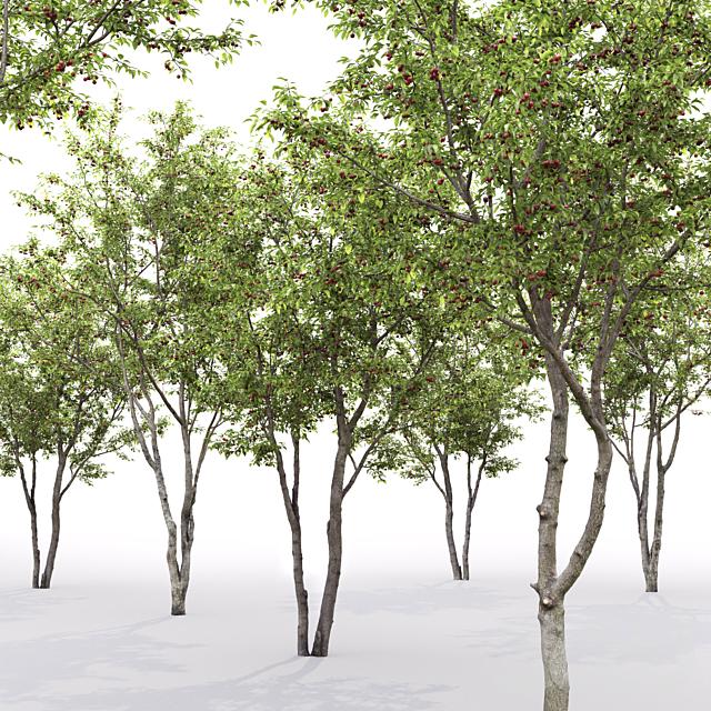 Prunus cerasus   Cherry-tree #1