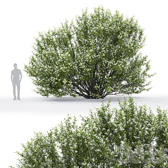 Черёмуха | Prunus padus flowering #2 (4.6m)
